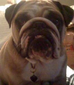 Abby Bulldog